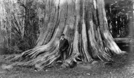 Man standing at the back of Hollow Tree in Stanley Park