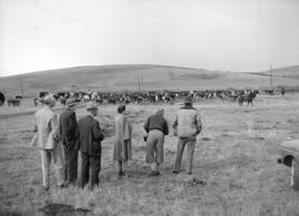 Duke and Duchess of Windsor watching [a cattle drive] at Bar U Ranch