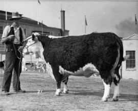 Man with Hereford bull