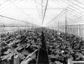 [Interior of calla lily greenhouse, Brown Bros. Florists]