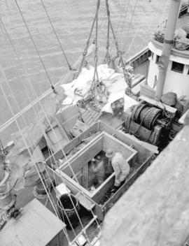 Loading halibut in hold of ship