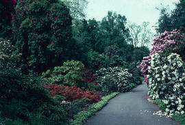 Gardens - United Kingdom : rhododendron dell, Kew