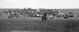 Dividing the strays in the June round-up Maple Creek, Assa., 1902
