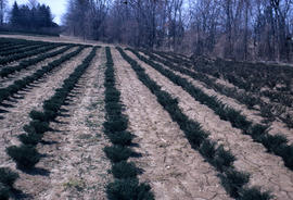 Propagation : Junipers lined out