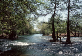 Taxodium distichum in Texas [at] Blanco River Cypress Creek Wimberley