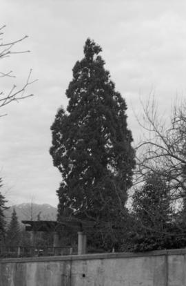 Sequoiadendron giganteum - Hycroft House (N.I.I.)