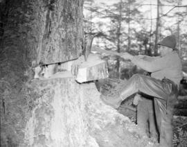 [Chopping down a tree on the] Queen Charlotte Islands