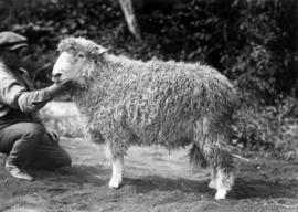Lincoln ram in sheep competition