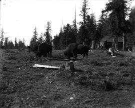 Stanley Park, three bison in their enclosure