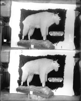 Mountain goat [Leo A. Malfet, Taxidermist, 555 Georgia]