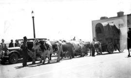 Covered wagon pulled by eight cows