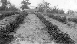 Cascara cultivated at Salmon Arm by W.E. Brett