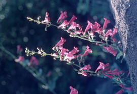 Penstemon pseudospectabilis near Salt River Canyon