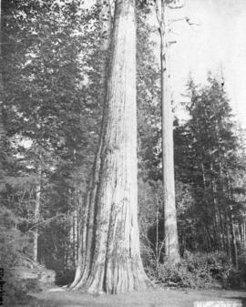 Big tree [in Stanley Park]