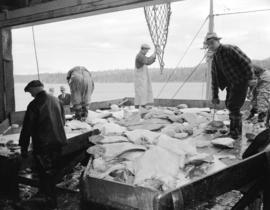 Halibut in hold of ship