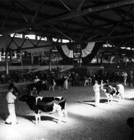 Cattle and owners during livestock competition in Livestock building