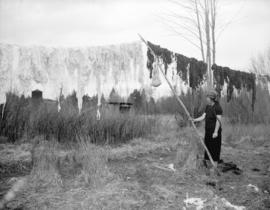 Cowichan wool being hung to dry