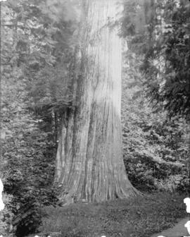 Stanley Park - large trees