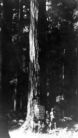 A tall tree, 220 ft. high, 18 ft. circum[ference], 6 ft. diam[eter]