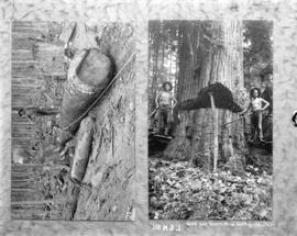 [Man standing on log; two men standing with partially felled tree]