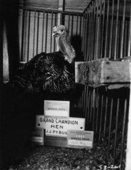 Grand champion hen turkey in poultry competition