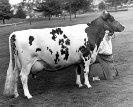 Edenbank White Beauty 2nd, grand champion Ayrshire cow