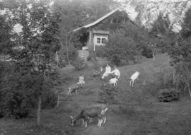 Family of four people with four goats and a dog in their garden
