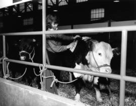 Girl in 4-H and Future Farmers of Canada competition brushing Hereford cattle