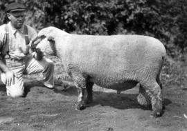 Man with Hampshire ram in sheep competition