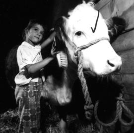 Young girl brushing Hereford cattle
