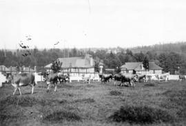 [Dairy herd at the Boys Industrial School (Biscoq)]