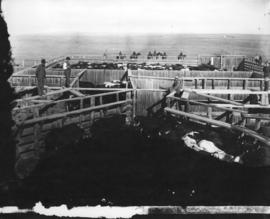 Cattle for shipment at Maple Creek, N.W.T.