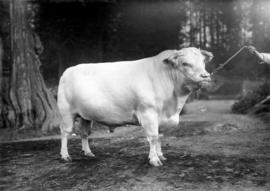 King of the Fairies, Grand Champion Shorthorn, owned by H.R.H. Prince of Wales