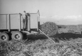 3 Harvesting sugar cane, men and truck in field