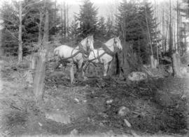 [Two horses in area of partially cleared land, Gibson's Landing]