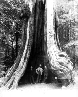 Three men inside Hollow Tree, Stanley Park