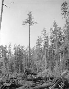 [View of tree branch stripping for] Pacific Mills [on the] Queen Charlotte Islands