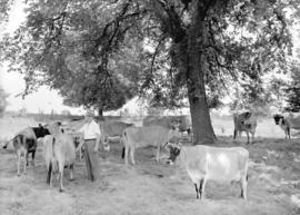 Gordon Tufts with cows under a tree
