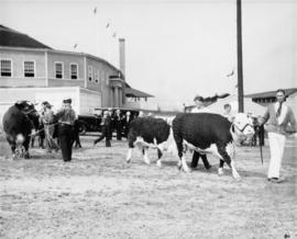 Man with Hereford cattle by Stock Judging Pavilion
