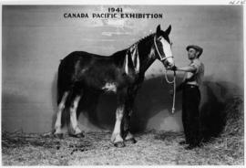 Man with groomed draft horse foal in Livestock building