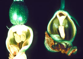 Botany : the flower ... pumpkin, bisected male and female flowers