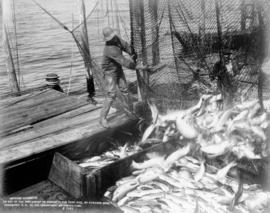 Fisherman emptying salmon from nets