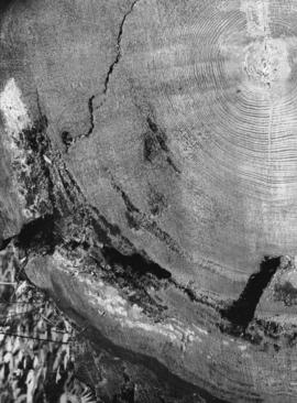 Cross section of 275 year old Fir tree, Bowen Island