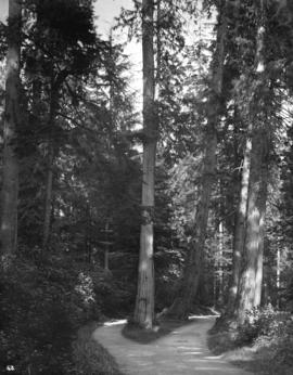 """The Big Trees"" Stanley Park"