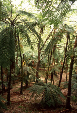 Cyathea sp. : tree ferns, a woodland of tree ferns, San Miguel
