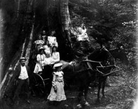 The big tree in Stanley Park, Stanley Park Stables [horses]