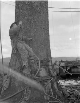 [Logger being hoisted up a tree trunk for] Pacific Mills [on the] Queen Charlotte Islands