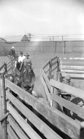 [Cowboys herding horses into a pen at the Callister Park rodeo]
