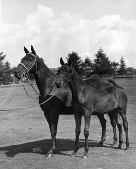 Dafana Dane and her filly Merrylee Superb