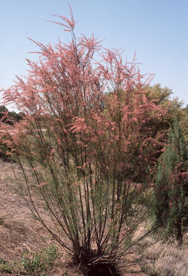 Tamarix pentandra [at] Salt River Canyon